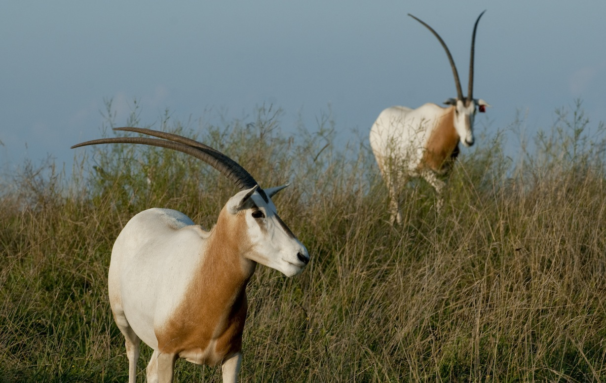 https://columbuszoo.org/Media/the-wilds/scimitar-horned-oryx---grahm-s-jones-columbus-zoo-and-aquarium.jpg?sfvrsn=2